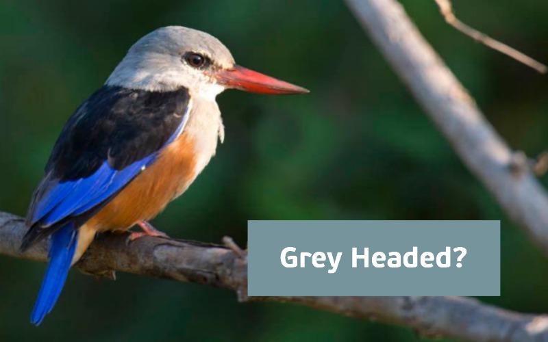 Grey headed kingfisher RobReiziger2015 logo